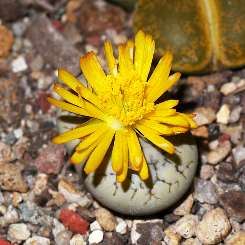 Lithops werneri C188 flower 030413.jpg