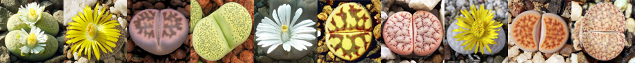 lithops forum banner a.png